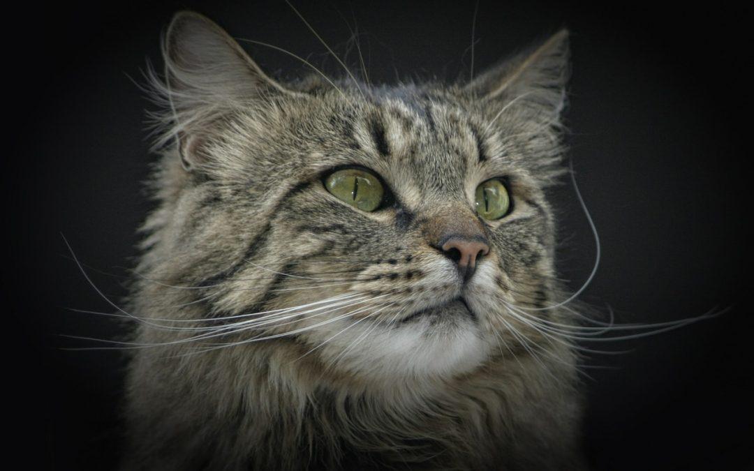 Combien coûte un chat Norvegien?