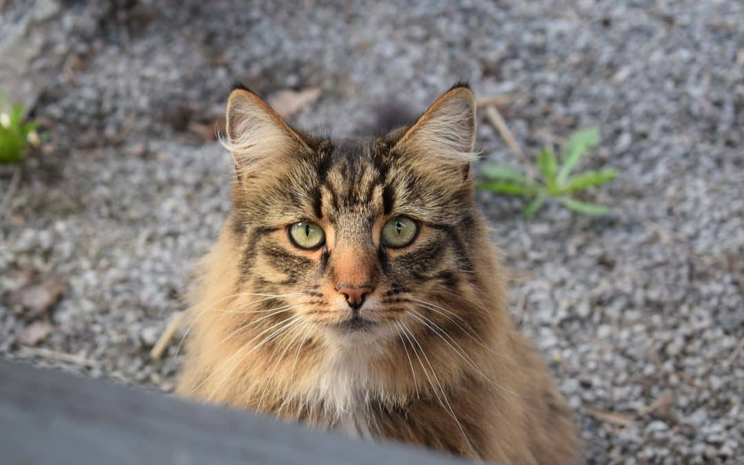 Maine Coons contre le chat Norvégien