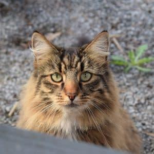 Chat norvégien à l'extérieur