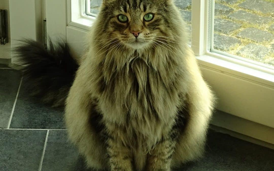Peut-on laisser librement entrer et sortir son chat Norvégien ?