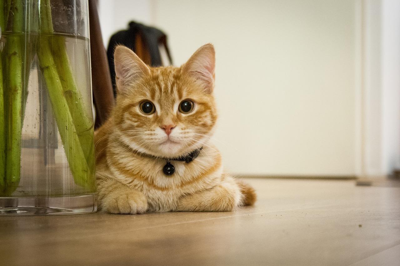Jeune chat roux dans la maison