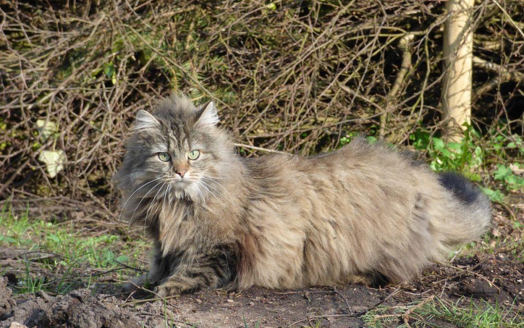 Le Chat Norvégien est il un chat fragile ? Comment bien prendre soin de lui ?