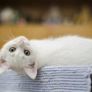 Chaton blanc couché