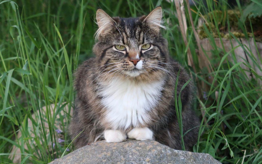 Comment choisir un harnais pour grand chat Norvégien ?