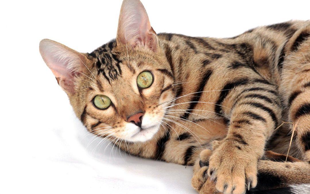 Le classement des 5 chats les plus chers du monde