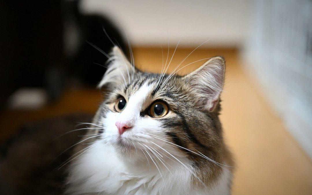 5 accessoires indispensables à avoir avant d'adopter un chat Norvégien