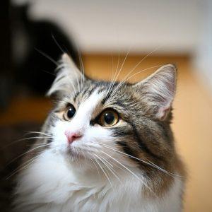 Chat Norvegien fraîchement adopté