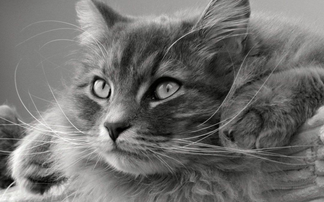 Le Top 3 des chats hypoallergénique !
