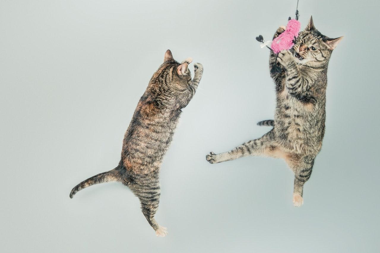 Deux chats jouant ensembles